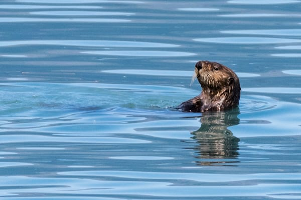 Otter in blue water