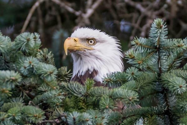 Bald eagle hrz