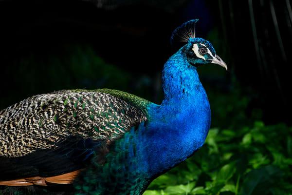 Peacock Israel