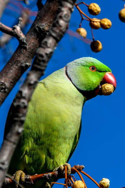Parrot Israel