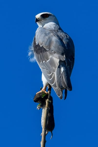 Black winged kite with rodent