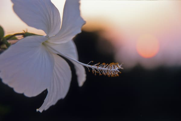 White flower against sunset