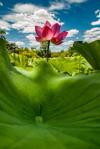 Lotus flower bugs view