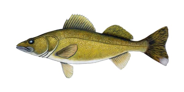 MPhillip-Walleye-Orig