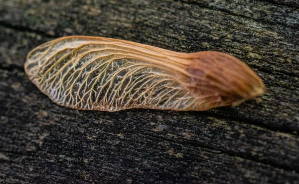 Maple Seed Closeup Art | Drew Campbell Photography