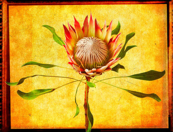 Protea   Limited Edition Prints Photography Art | Doug Landreth Photography