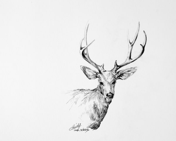 Lindy Cook Severns Art | The Regal One, original drawing
