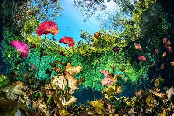 Underwater Lily Pond | Art in Nature