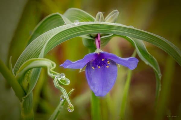 Spiderwort With Waterdrops 0921 24 Art | Koral Martin Fine Art Photography