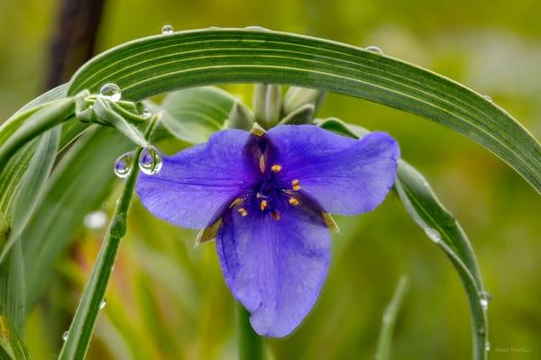 Spiderwort With Waterdrops 0911 Art | Koral Martin Fine Art Photography