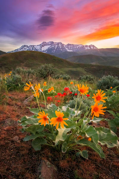 timpanogos sunset vertical with spring wildflowers
