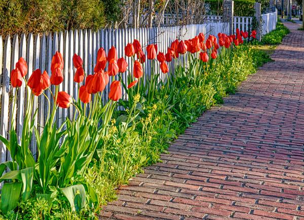 Edgartown Spring Tulips Art | Michael Blanchard Inspirational Photography - Crossroads Gallery