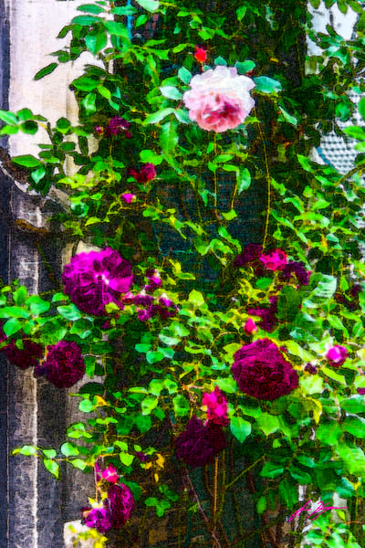 Roses of London