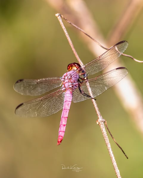 The Roseate Skimmer Dragonfly