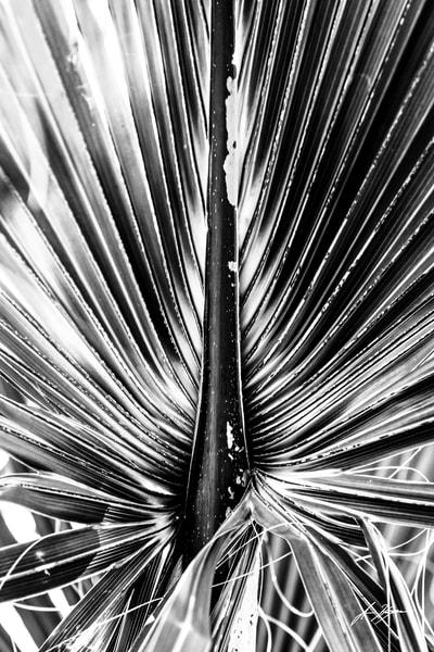 Palm Frond   B/W Art   Hogan's Harbor Art Gallery