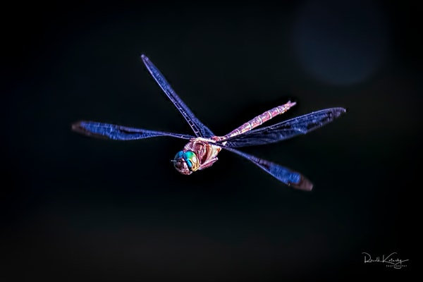 The Wandering Glider Dragonfly