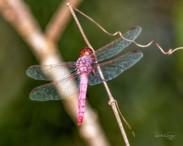 The Roseate Skimmer Dragonfly 2