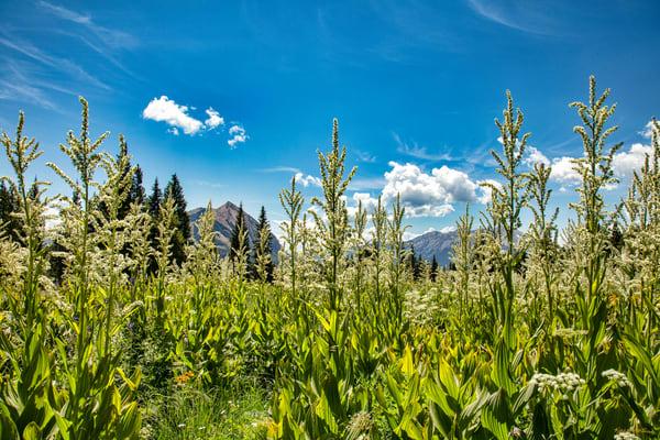 Snodgrass Trail Tall Wildflowers Mountains 6956   Photography Art | Koral Martin Healthcare Art