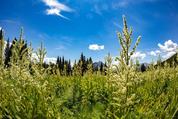 Snodgrass Trail Tall Wildflowers Mountains Dfe 6971   Photography Art | Koral Martin Healthcare Art