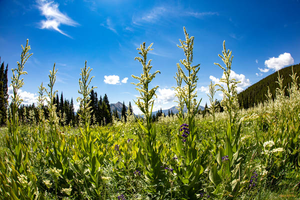 Snodgrass Trail Tall Wildflowers Mountains Dfe 6973   Photography Art | Koral Martin Healthcare Art