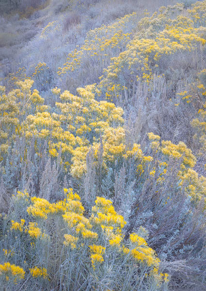 Rabbit Brush blooms in soft shades of yellow by Charlotte Gibb
