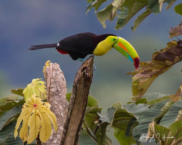 """""""Top of the World Toucan"""""""