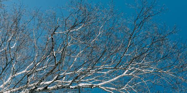 Birch Bark Sky III