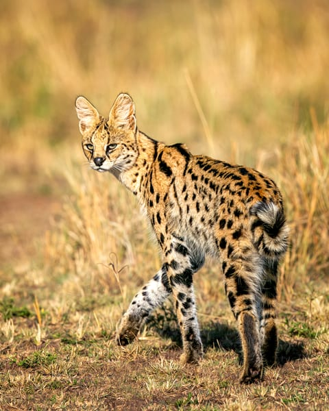 Serval Cat Photography Art | Carol Brooks Parker Fine Art Photography