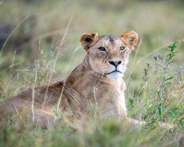 Lioness In The Grass Photography Art | Carol Brooks Parker Fine Art Photography