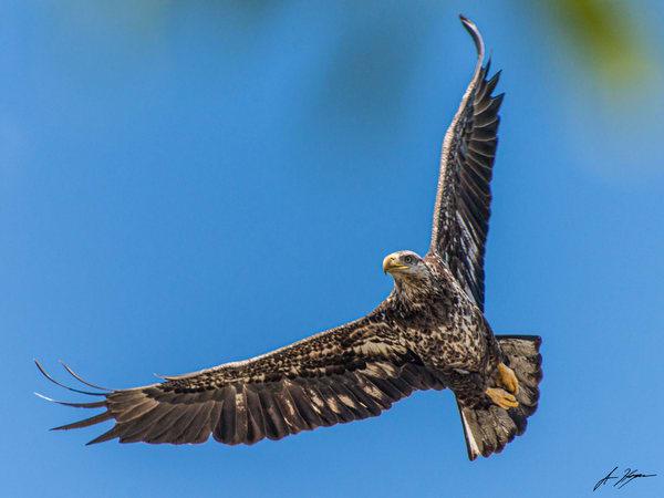 Bald Eagle Juvenile Art | Hogan's Harbor Art Gallery