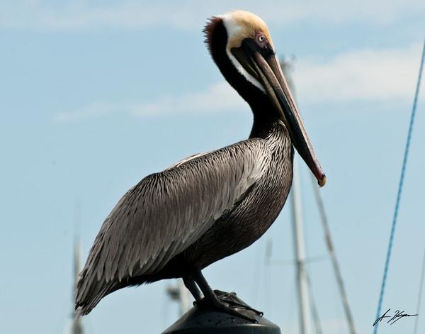 Brown Pelican Art | Hogan's Harbor Art Gallery