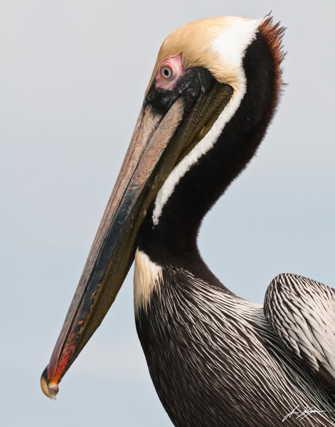 Pelican Profile Art | Hogan's Harbor Art Gallery