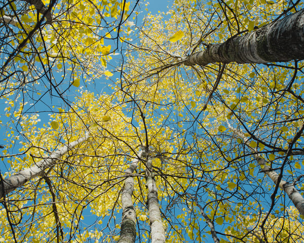 Birch Sky (heartland trail) by Jeremy Simonson