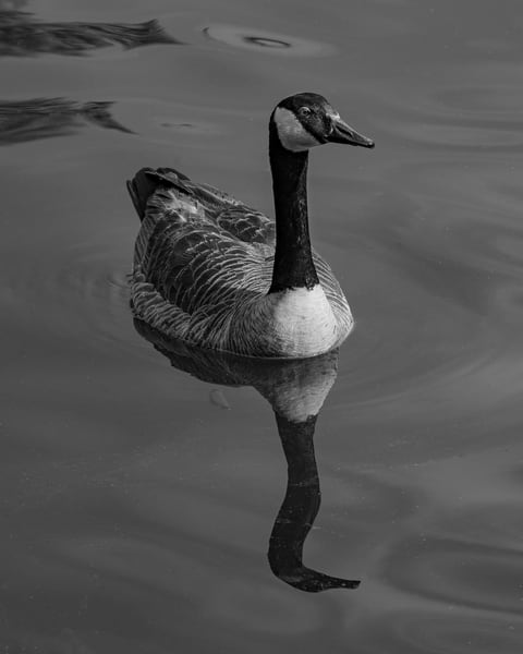 Canada on the Lake in Black and White - Art Print - Tamea photography