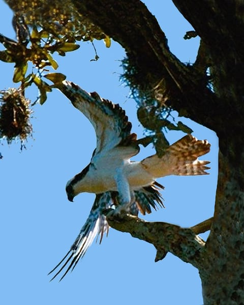 Osprey Photography Art | It's Your World - Enjoy!