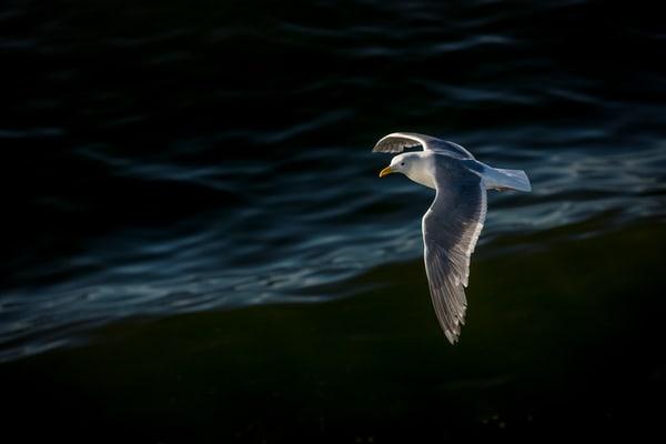 Seagull in Flight, Puget Sound,Seattle, Washington