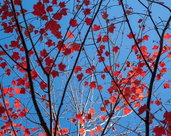 Maple Leaf Sky II