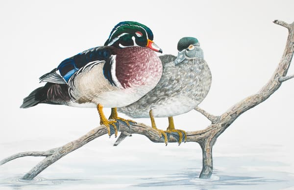Nap Time (Wood Duck Pair) Photography Art | Drew Smith Photography, LLC