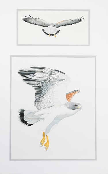 White Tailed Hawk Photography Art | Drew Smith Photography, LLC