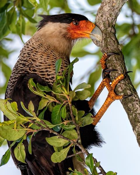 The Crested Caracara Feaking