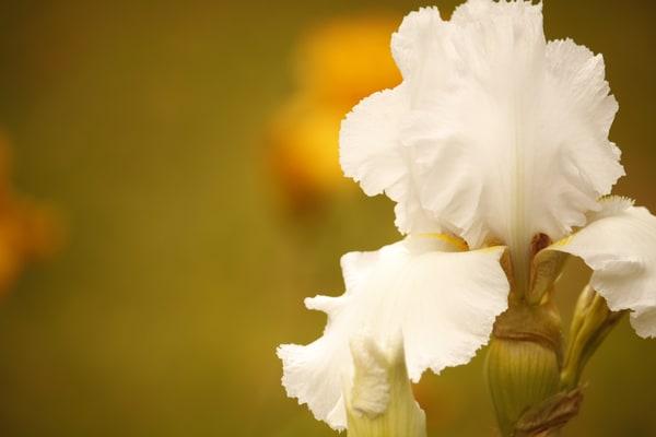 GAttanasio-White-Iris