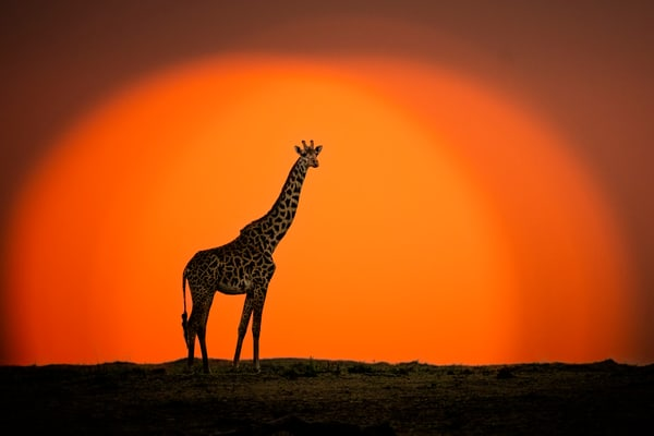 Giraffe At Sunrise Photography Art | Carol Brooks Parker Fine Art Photography