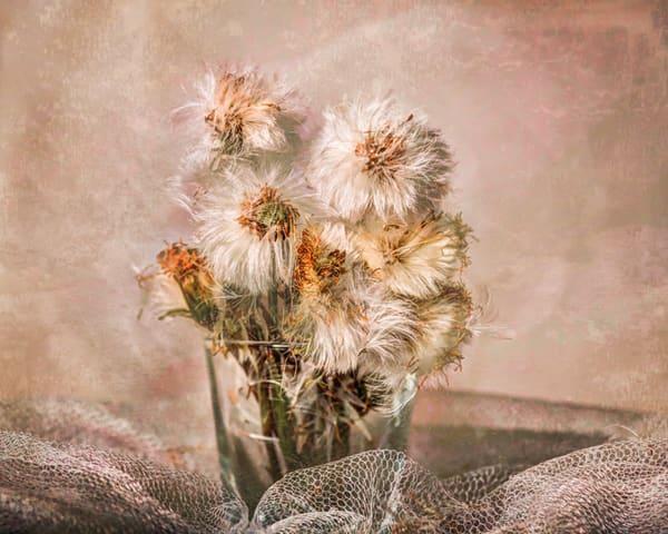 20496938 jerrimooncantone dandelions photograhy 16x20 vgsymq ogzzx1