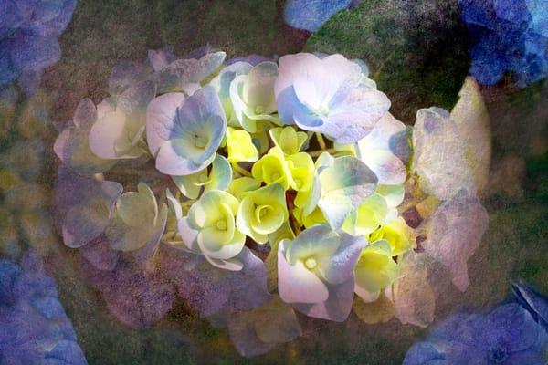 Horizontal Textured Hydrangeas, by Laura Grisamore