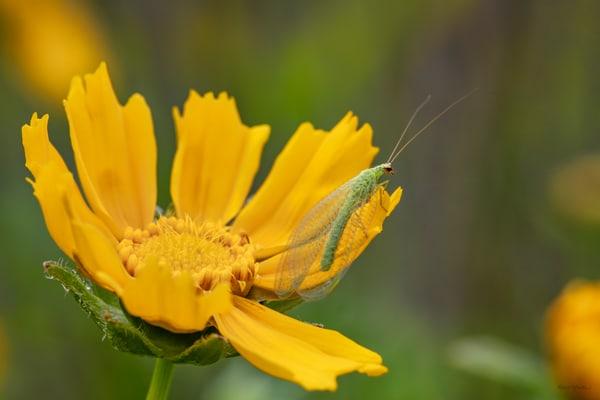 Bug On Coreopsis 5795 Art | Koral Martin Fine Art Photography