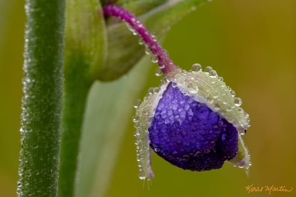 Dangling Delight Spiderwort With Waterdrops 5722 Photography Art | Koral Martin Fine Art Photography