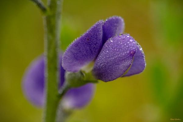 Glistening     Blue Wild Indigo Wildflower Covered In Dew 5691 Photography Art | Koral Martin Fine Art Photography