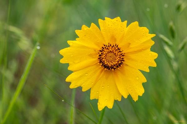 Yellow Daisy Wilflower 5668 Wc20  Art | Koral Martin Fine Art Photography