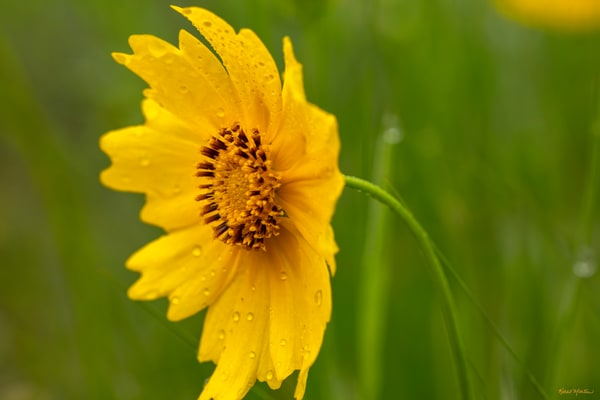 Coreopsis Wildflower With Waterdrops 5680 Art | Koral Martin Fine Art Photography