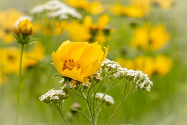 Coreopsis With Queen Annes Lace 5839 Art | Koral Martin Fine Art Photography